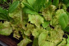 Essbarer Kopfsalat, der in einem Samen flach wächst Stockbild