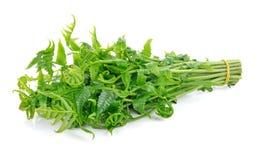 Essbarer oder essbarer Gemüsefarn Diplazium Stockfotos