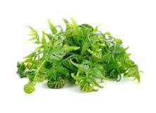 Essbarer oder essbarer Gemüsefarn Diplazium Lizenzfreie Stockbilder