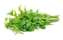 Essbarer oder essbarer Gemüsefarn Diplazium Lizenzfreie Stockfotos