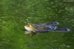 Essbarer oder gemeiner Wasserfrosch stockbild