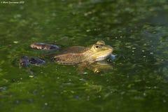 Essbarer oder gemeiner Wasserfrosch stockfoto