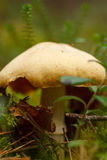 Essbarer Pilz im Wald Stockfotos