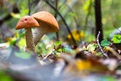 Essbarer Pilz im Wald Lizenzfreie Stockfotos