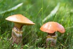 Essbarer Pilze Suillus im Grasabschluß oben lizenzfreie stockfotos