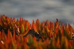 Essbarer Stein des roten Carpobrotus und Seehintergrund Co Lizenzfreie Stockbilder