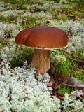 Essbarer weißer Pilz, der auf einem Moos wächst lizenzfreies stockfoto