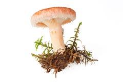 Essbarer wolliger milkcap Pilz stockbild
