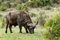 Essen - afrikanisches Büffel Syncerus-caffer Stockbilder