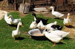 Essen der Enten Stockbild