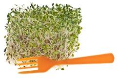 Essen der gesunden Alfalfasprossen Lizenzfreies Stockbild