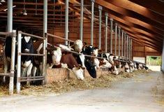 Essen der Kühe Stockfoto