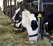 Essen der Kühe stockfotos