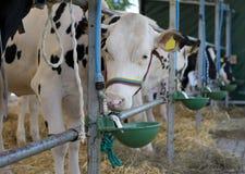 Essen der Kuh Lizenzfreie Stockbilder
