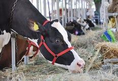 Essen der Kuh lizenzfreie stockfotos