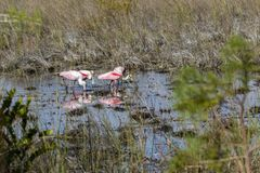 Essen der rosa Spoonbills stockfoto