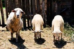 Essen der Schafe Stockfotos