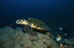 Essen der Seeschildkröte Lizenzfreie Stockfotos