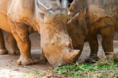 Essen der weißen Nashörner Lizenzfreies Stockfoto