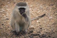 Essen des Affen lizenzfreies stockfoto