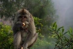Essen des Affen, der Sie betrachtet Lizenzfreie Stockbilder