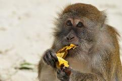 Essen des Affen in Phi Phi Stockbilder