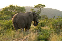 Essen des afrikanischen Elefanten Lizenzfreies Stockfoto
