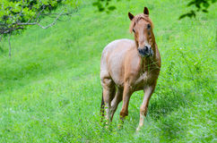 Essen des braunen Pferds stockfotos