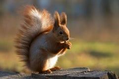 Essen des Eichhörnchens Stockfoto