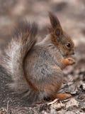 Essen des Eichhörnchens aus den Grund Stockbild