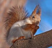 Essen des Eichhörnchens, das auf dem Baum sitzt Stockbilder