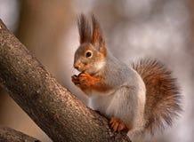 Essen des Eichhörnchens, das auf dem Baum sitzt Lizenzfreie Stockfotos