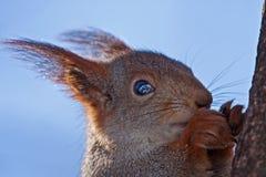 Essen des Eichhörnchens, das auf dem Baum sitzt Lizenzfreie Stockfotografie
