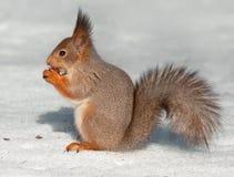 Essen des Eichhörnchens, das auf dem Schnee sitzt Stockbilder