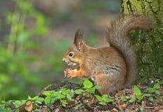 Essen des Eichhörnchens im Wald Lizenzfreie Stockbilder