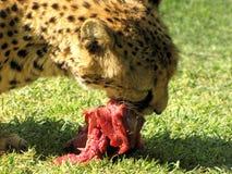 Essen des Geparden Stockbilder