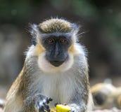 Essen des grünen Affen Lizenzfreies Stockfoto