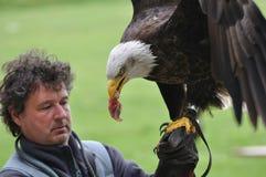 Essen des kahlen Adlers Lizenzfreie Stockfotografie