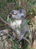 Essen des Koala Stockfoto