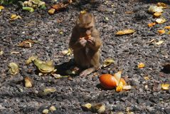 Essen des Makakenaffen Stockfotografie