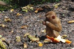Essen des Makakenaffen Stockfotos