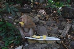 Essen des Makakenaffen Lizenzfreie Stockfotografie