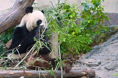Essen des Pandas Lizenzfreies Stockbild