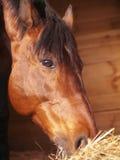 Essen des Pferds im Loskasten Stockfotografie