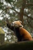 Essen des roten Pandas Stockfotografie