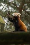 Essen des roten Pandas Stockfoto