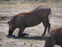 Essen des Warzenschweins in Nationalpark Chobe Stockbild