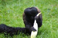 Essen des wolligen Affen Lizenzfreie Stockfotografie