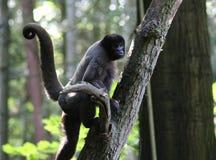 Essen des wolligen Affen Stockfoto