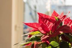 ESSEN, DEUTSCHLAND - 25. JANUAR 2017: Reizende rote blosssoms glänzen in der Wintersonne Lizenzfreies Stockbild